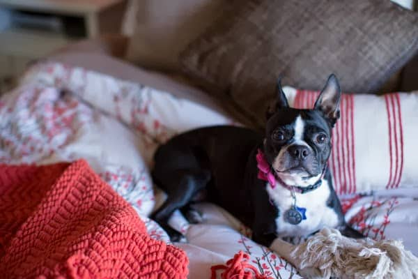 Boston Terrier on bed