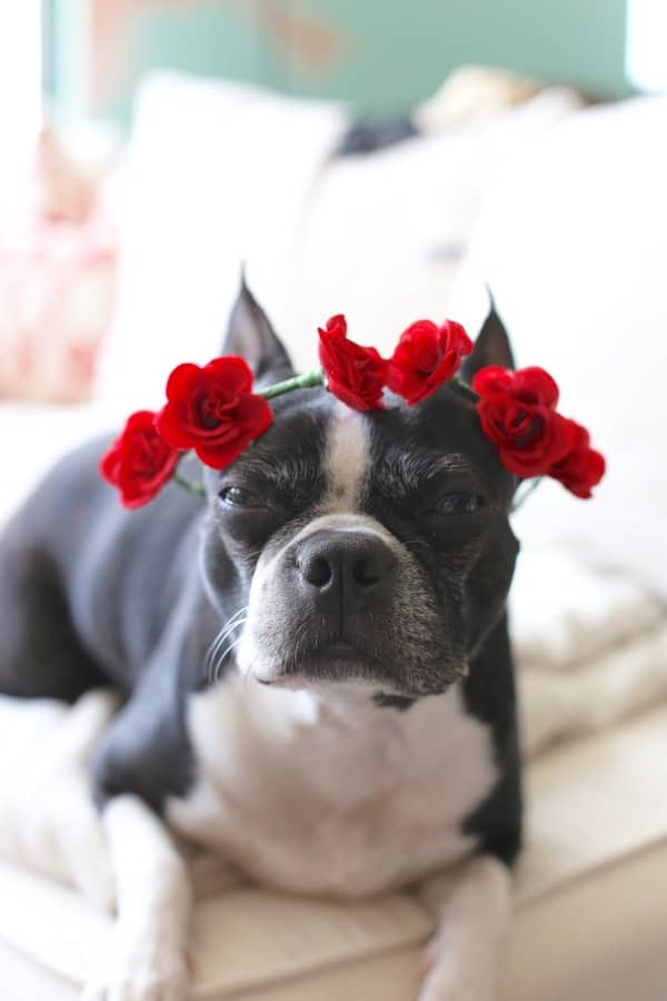 boston terrier flower crown - 1