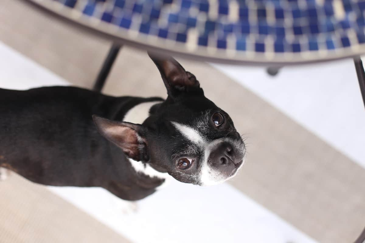 boston terrier, patio idea via @mystylevita - 1