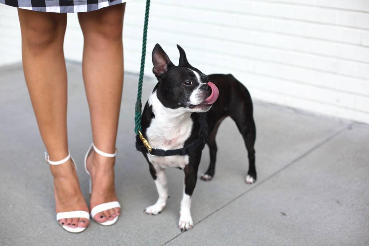 Boston Terrier and shoes via @mystylevita [My Style Vita]