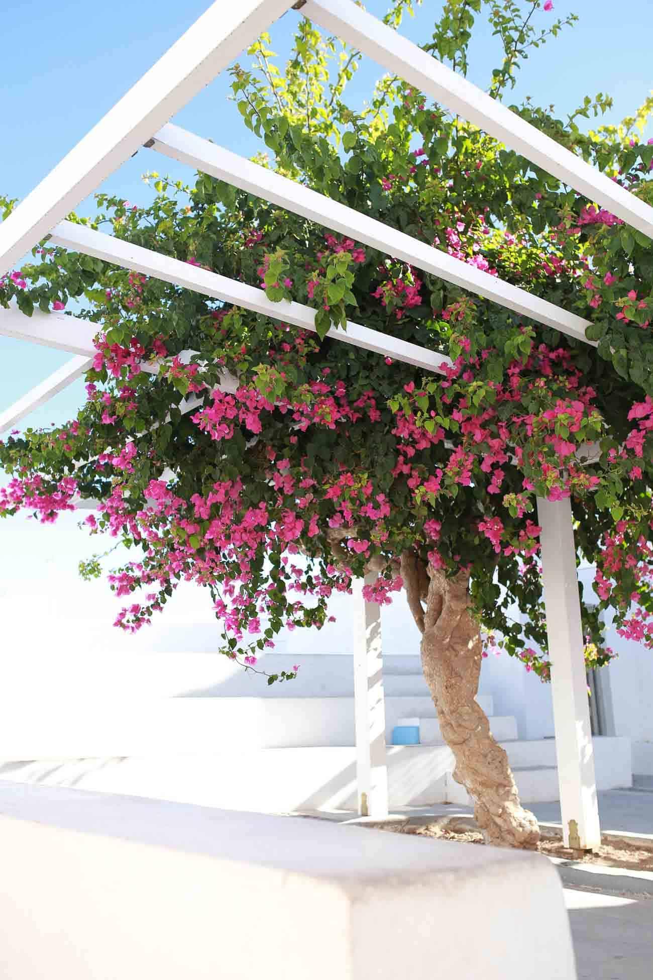 what to do in Santorini, greece travel guide, bougainvillea
