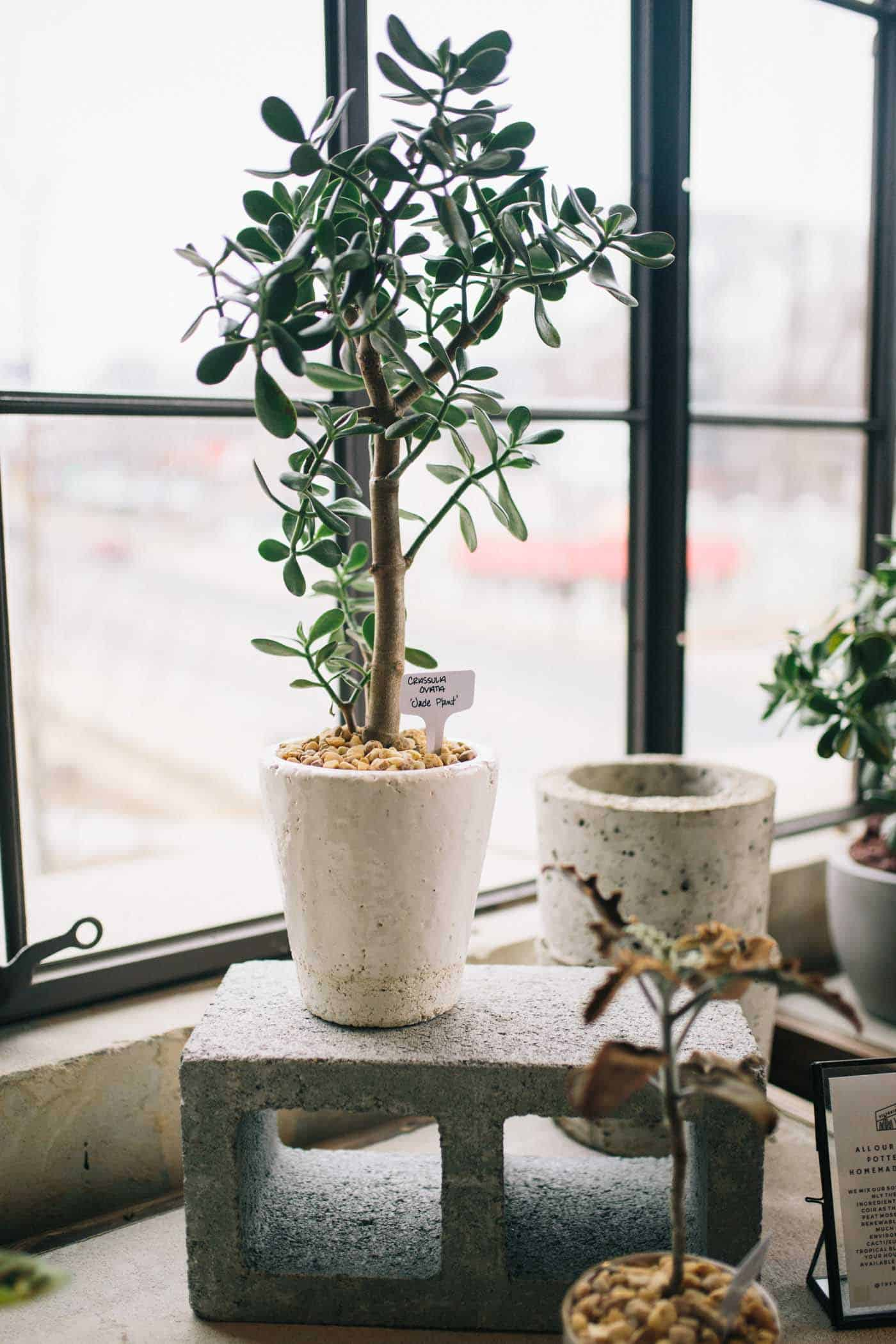 best indoor plants, plants for your home, fiddle leaf fig tips - My Style Vita @mystylevita